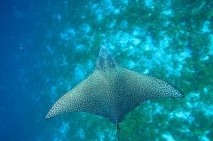 Devil Ray, Shivaz Mohamed